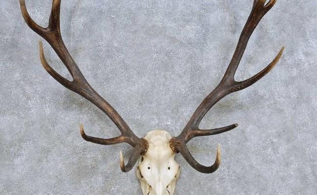 Red Deer Skull Antler European Mount For Sale 14420 The