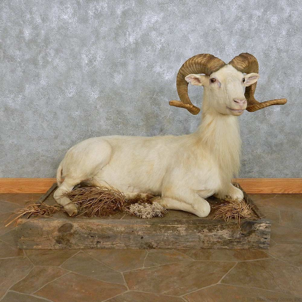 Texas Dall Sheep Shoulder Mount For Sale 15110  The