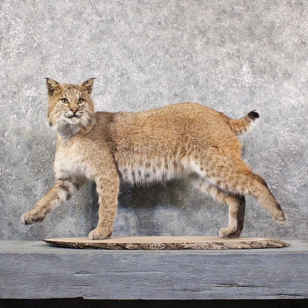Bobcat Taxidermy Mount Ideas - Year of Clean Water