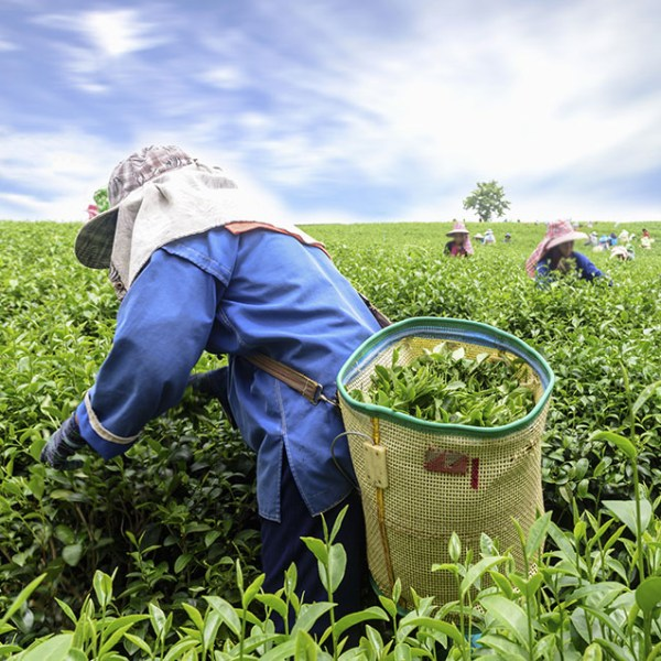 Climate Change and Tea's Future