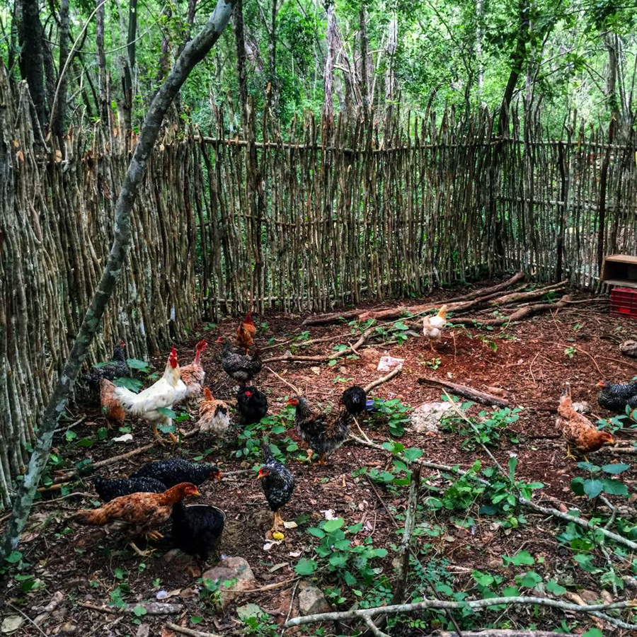 Our neighbor Oasis Eco Village run by our friend Shane shut down. The eco village donated all of their animals to our project, including 14 laying chickens, 2 ducks, 2 dogs 1 cat!