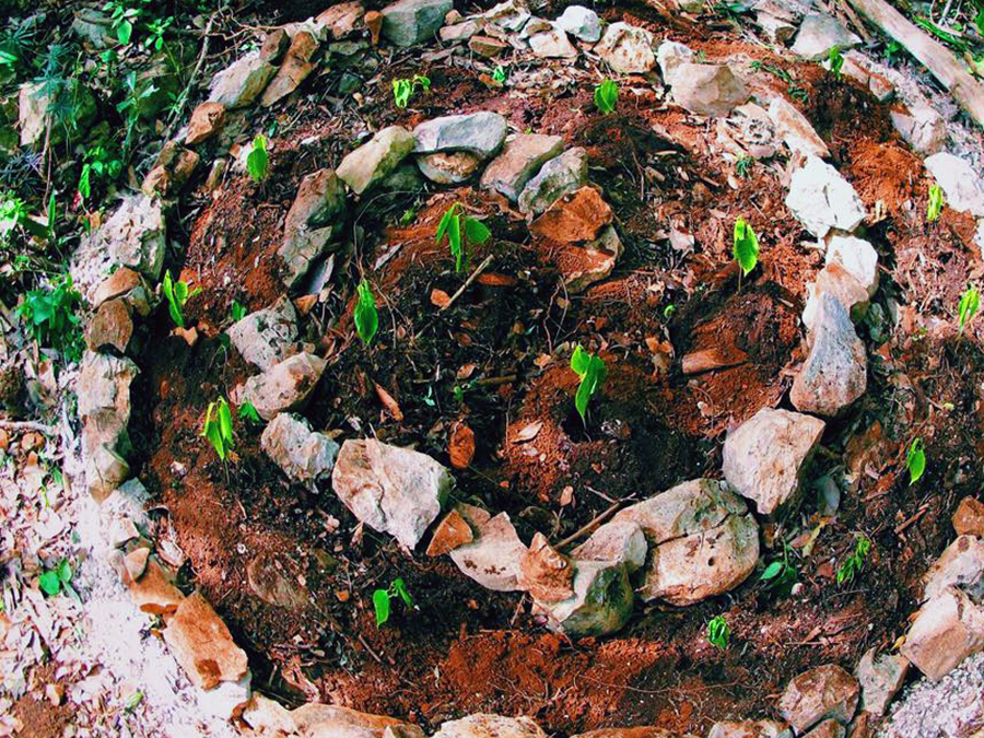 We believe in sacred agriculture, garden beds inspired by conscious design, using spirals, crop circles, sacred geometry and more! Here we have planted a subtropical exotic fruit that most of you never heard called anona native to the Yucatan / sub Americas tropics and West Indies.