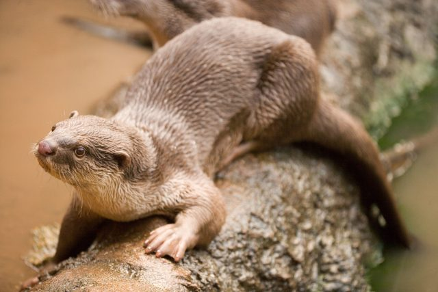 The smooth-coated otter is native to southern and Southeast Asia, with populations in Iraq. It is the largest otter species in Asia, and is categorised as vulnerable by the International Union for Conservation of Nature. (Image: Alamy)