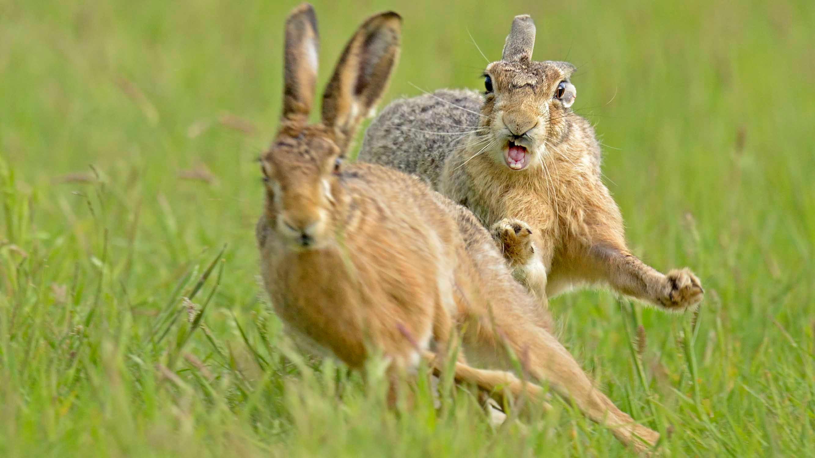 britain faces brown hare