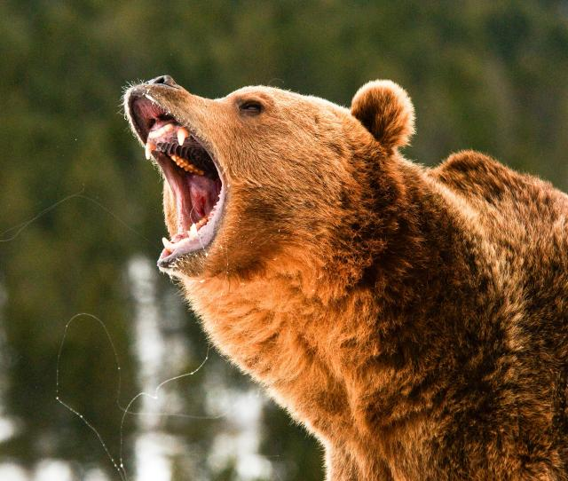 French Hiker Escapes Bear Attack In The Pyrenees Unscathed