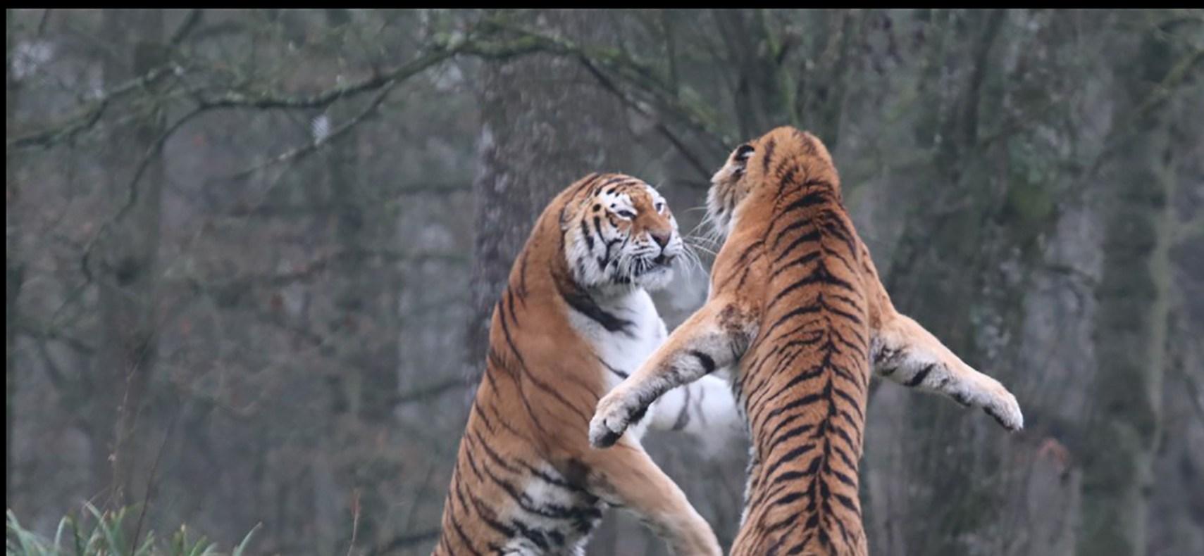 second tiger dies after