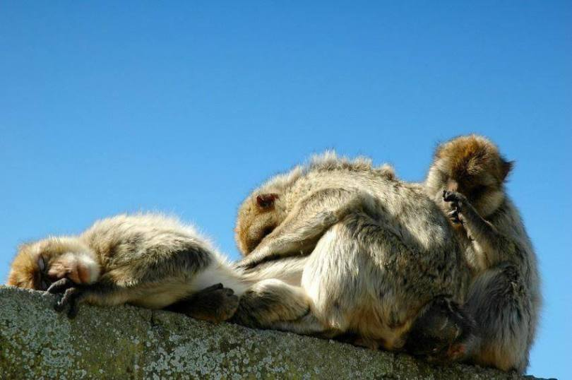 Gibraltar, Family of macaques relaxing under the sun. Cliffs of Bliss