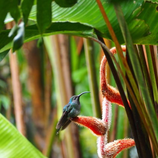 Here's one on the 'lobster claw', a furry heliconia