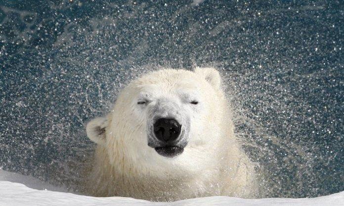 Πολική αρκούδα τινάζει από πάνω της το νερό σε ζωολογικό κήπο στον Καναδά