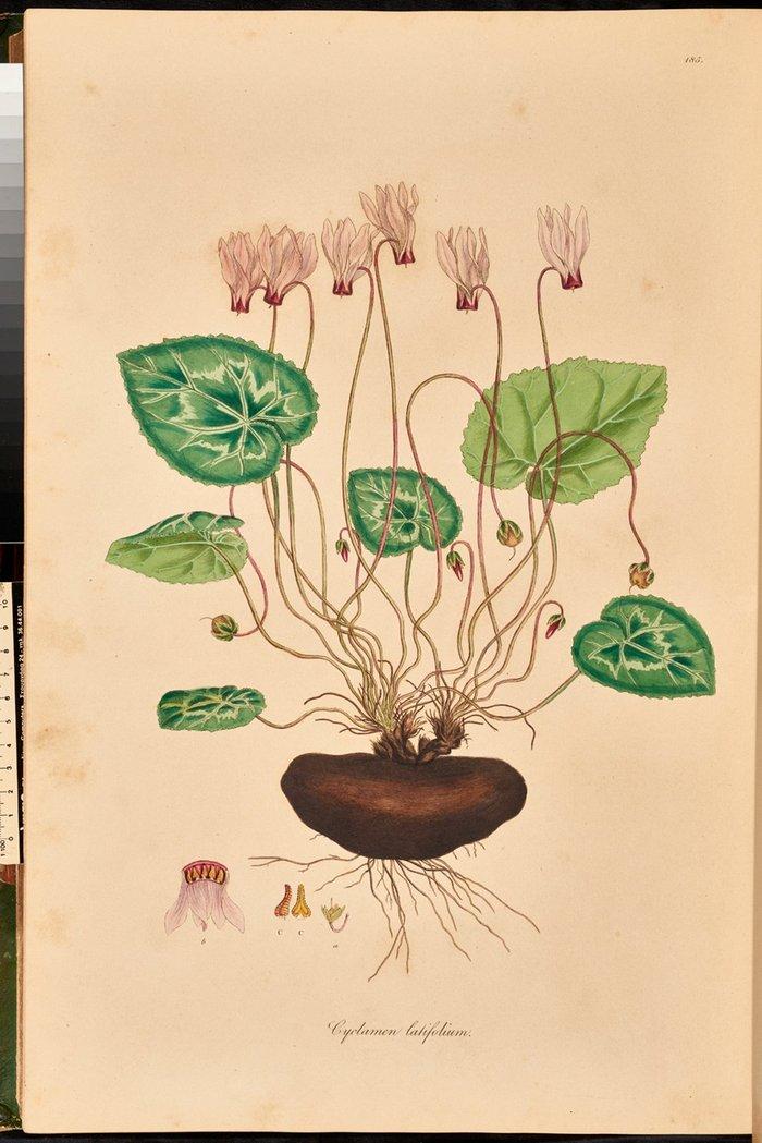 Το φυτό Cyclamen latifolium (persicum) ζωγραφισμένο από τον Ferdinand Bauer από τη Flora graeca του Sibthorp, τόμ. 2, πιν. 185.