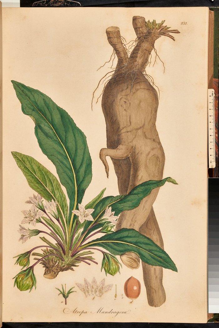 Το φυτό μανδραγόρας (Mandragora officinarum) ζωγραφισμένο από τον Ferdinand Bauer από τη Flora graeca του Sibthorp, τόμ. 3, πιν. 232.