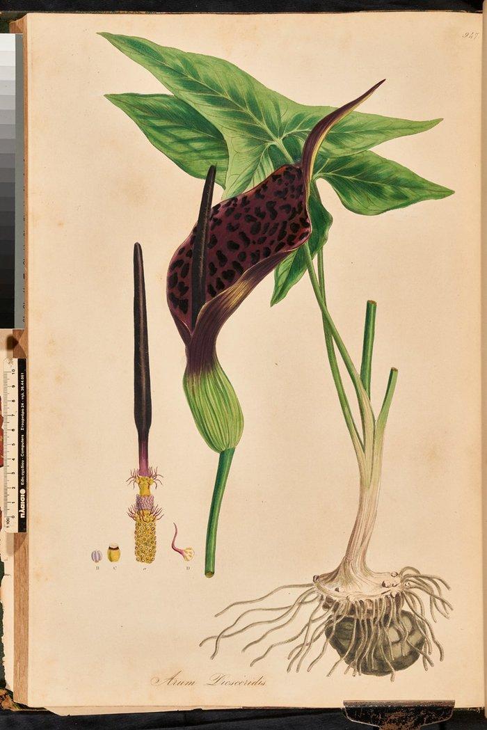 Arum dioscurides