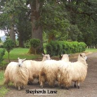 Four white sheep in the country