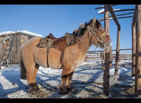 A Siberian Yakutian horse in Oymyakon. Photo Credit: Maarten Takens/Flickr