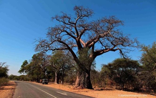 baobab tree of mysteries