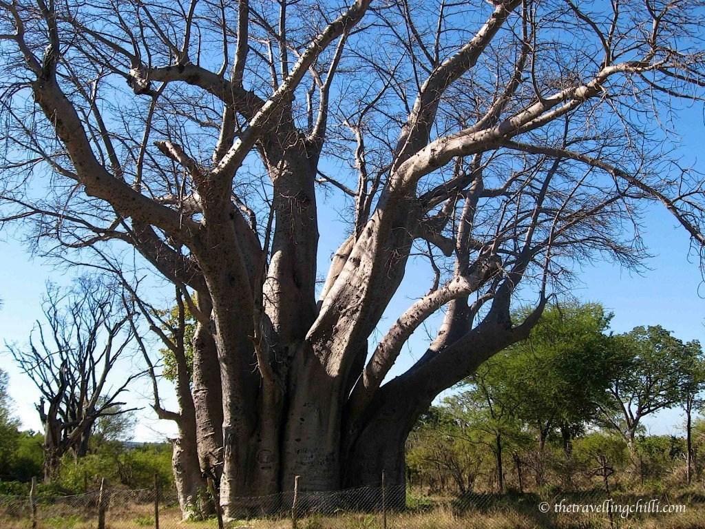 wish-granting tree