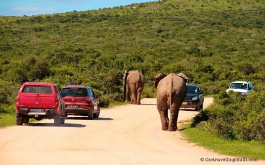 addo elephant park sanparks elephant