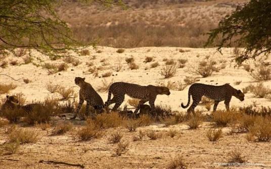 cheetah kgalagadi transfrontier botswana