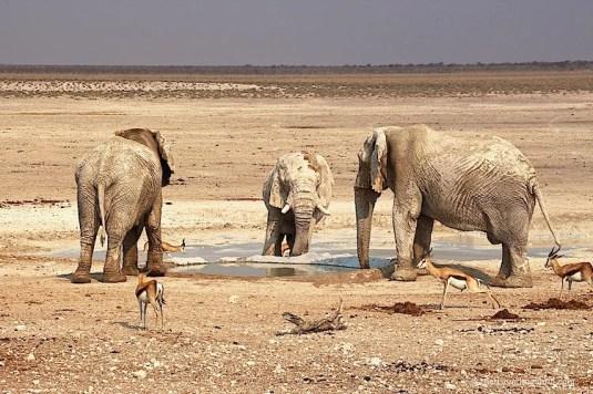 Elephants waterhole Etosha National Park Namibia