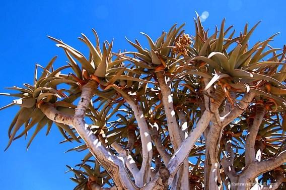 Kokerboom Quiver Tree Namibia