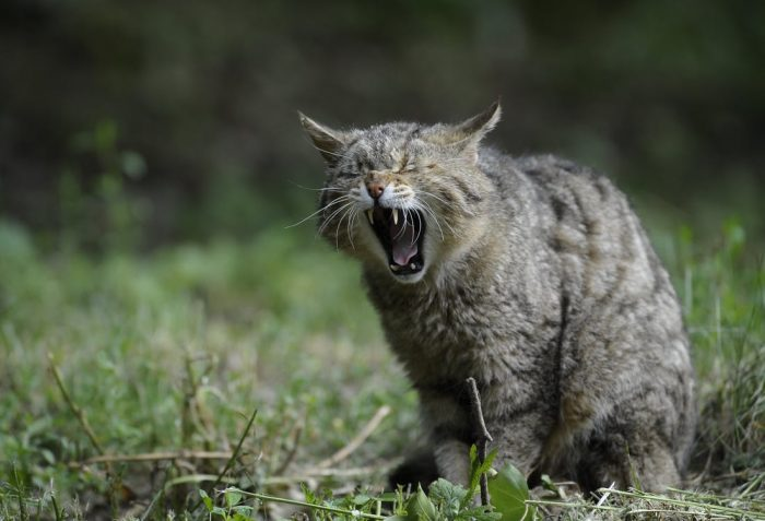 Angry cat hissing
