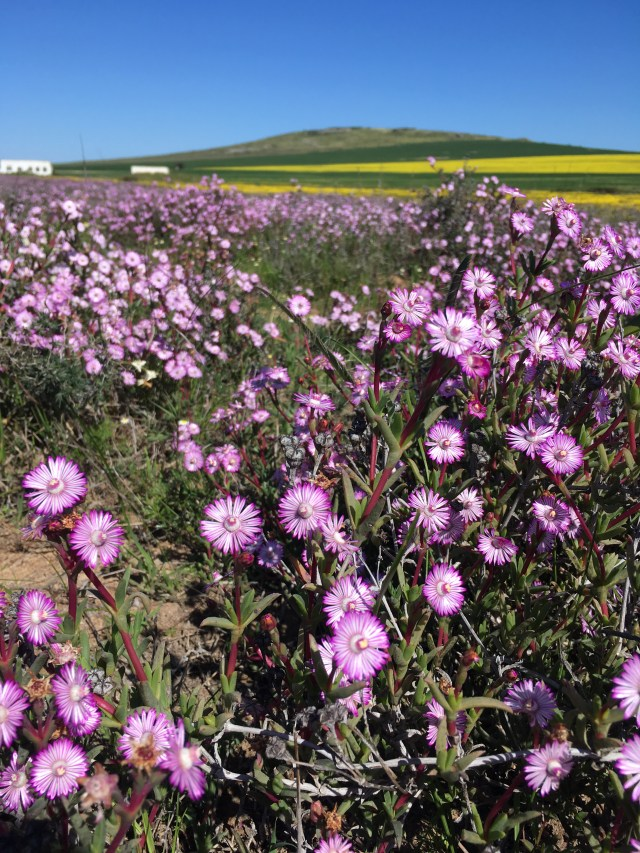 wild flower fields in western cape