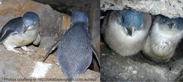 Little Penguins St Kilda Victoria Australia free things to do in melbourne