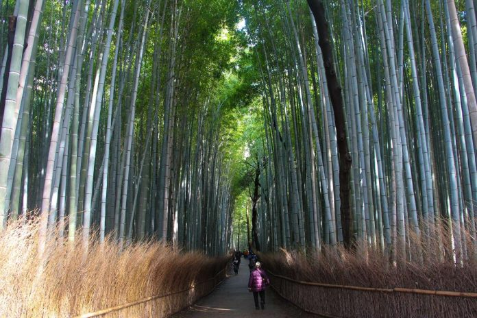7 of the most breathtaking forests in the world Sagano Bamboo Forest Kyoto 696x464