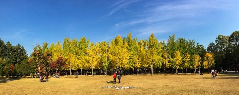從草地往銀杏路回望過去,金黃色的銀杏葉還夾雜著一點點綠色,很有分明。