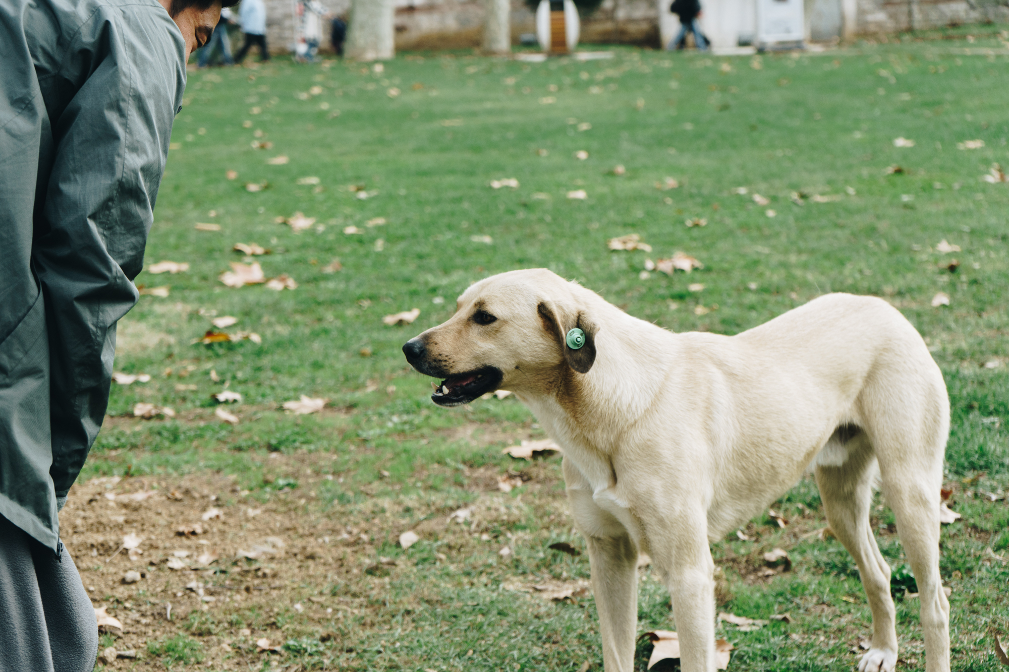 Ear Tags on Stray Dogs in Istanbul Turkey