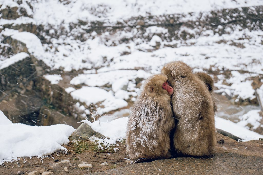 Snow Monkeys: Visiting Japan's Onsen-Loving Monkeys