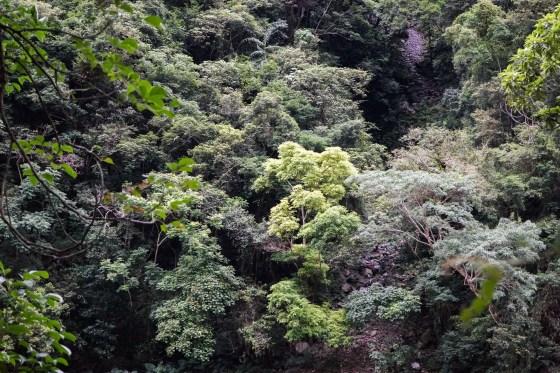 Jungle Taroko
