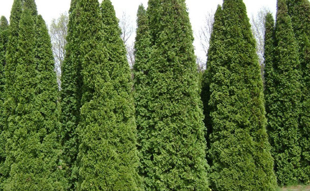 Zone 8 shrubs for shade evergreen emerald arborvitae