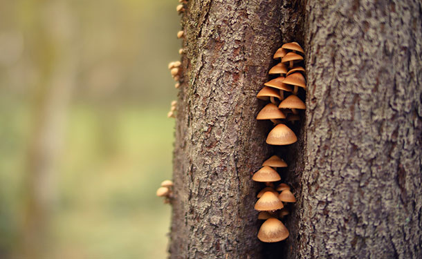 Mushrooms or conks growing from a tree trunk are a sign of disease and rapid decline