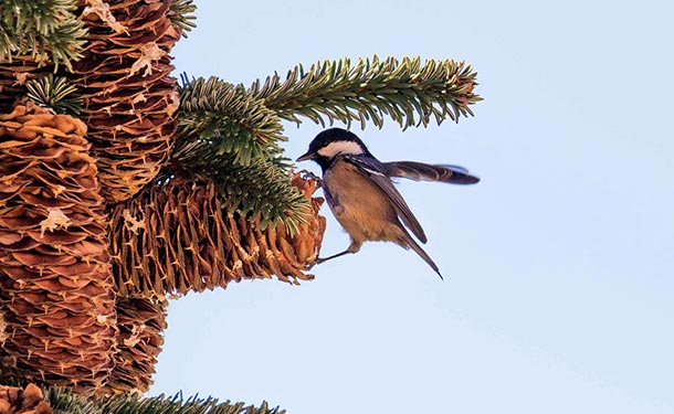 Pine trees reproduce when female cones release seeds to be disbursed
