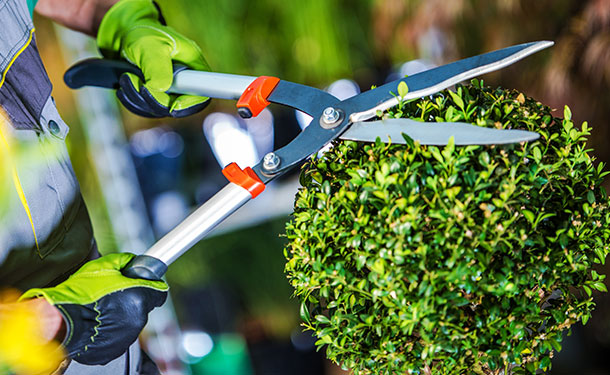 Eugenia topiary requires frequent pruning and care to thrive