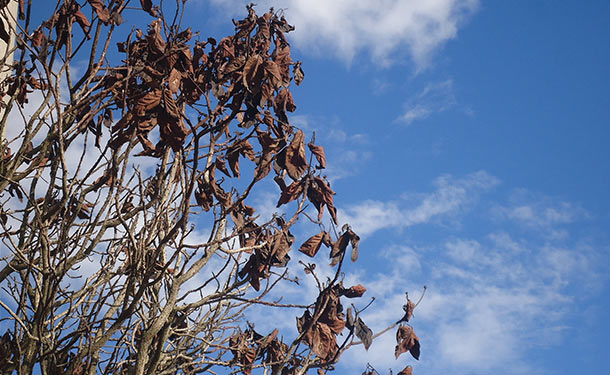 Tree damage from vascular disease causing wilting decline and death