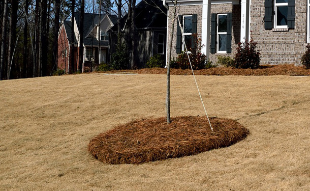 Landscaping volcano mulching over sapling root flare