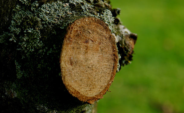 Tree damage from poor pruning can be corrected by making correct cuts