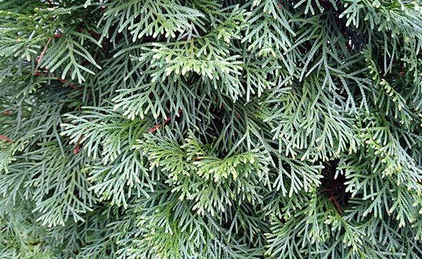 Evergreens for usda hardiness zone 9 juniper trees