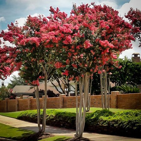Flowering Trees Best Flowering Trees To Buy The Tree Center