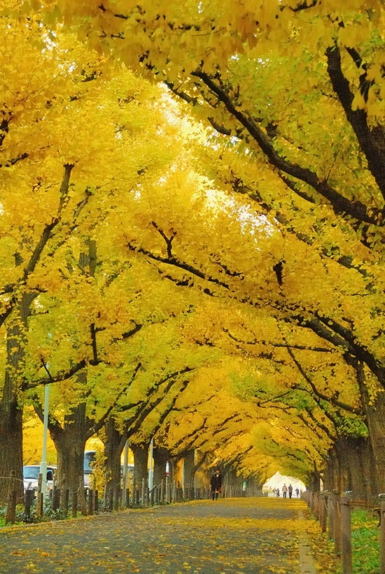 Ginkgo Tree Autumn Gold For Sale Online The Tree Center