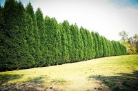 Leyland Cypress  The Best Privacy Tree?   The Tree Center
