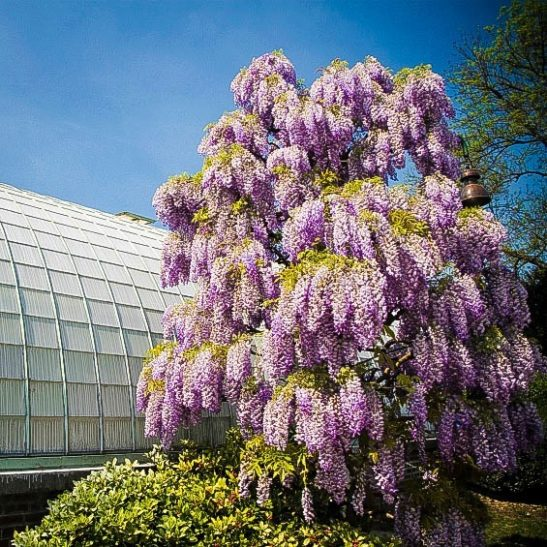 Purple Wisteria For Sale Online  The Tree Center