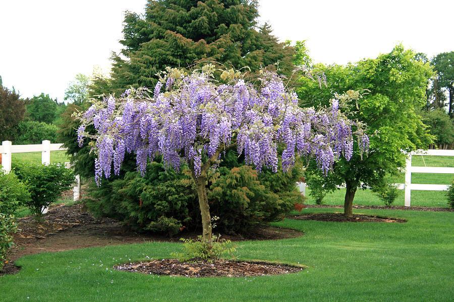Wisteria Falls Wallpaper Purple Wisteria The Tree Center