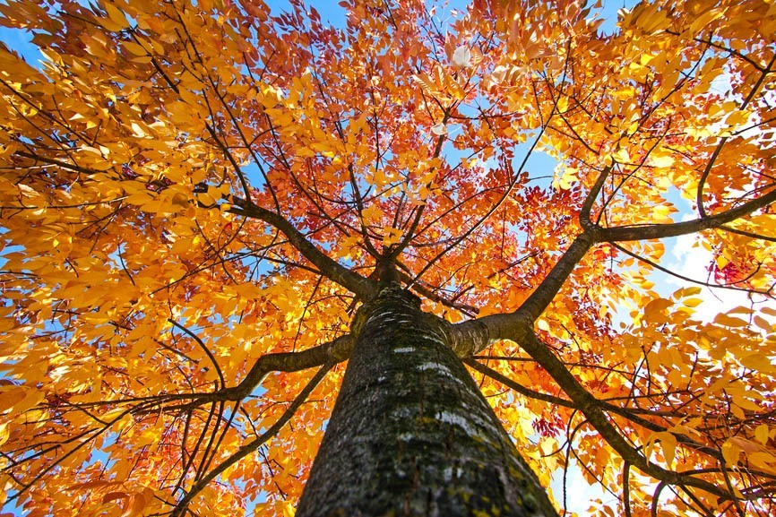 Fall Birch Tree Wallpaper Fastest Growing Shade Trees The Tree Center