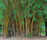 Bamboo Plant Care