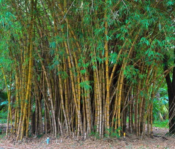 bamboo plant care tree center
