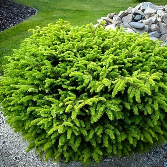 Evergreen Shrubs Zone 6