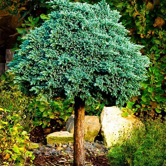 blue star juniper trees landscaping